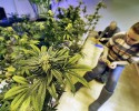 "Cheyenne Fox attaches radio frequency tracking tags, required by law, to maturing pot plants inside a grow house, at 3D Cannabis Center, in Denver, Tuesday Dec. 31, 2013. Colorado is making final preparations for marijuana sales to begin Jan. 1, a day some are calling ""Green Wednesday."" 3D Cannabis Center will be open as a recreational retail outlet on New Year's Day."