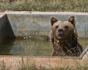 Bear cools off in a pool in the bear sanctuary near the Badovac lake on Thursday, July 30, 2015. Over the past two weeks Kosovo was hit by a heat wave as daily temperatures reached up to 39 degrees celsius (103 fahrenheit). (AP Photo/Visar Kryeziu)